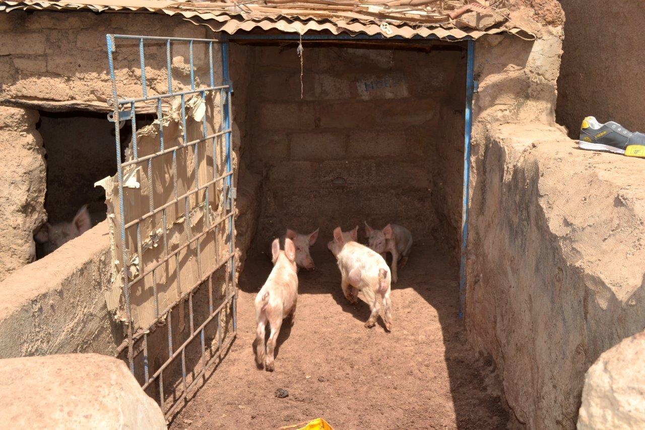Microkredieten voor varkens